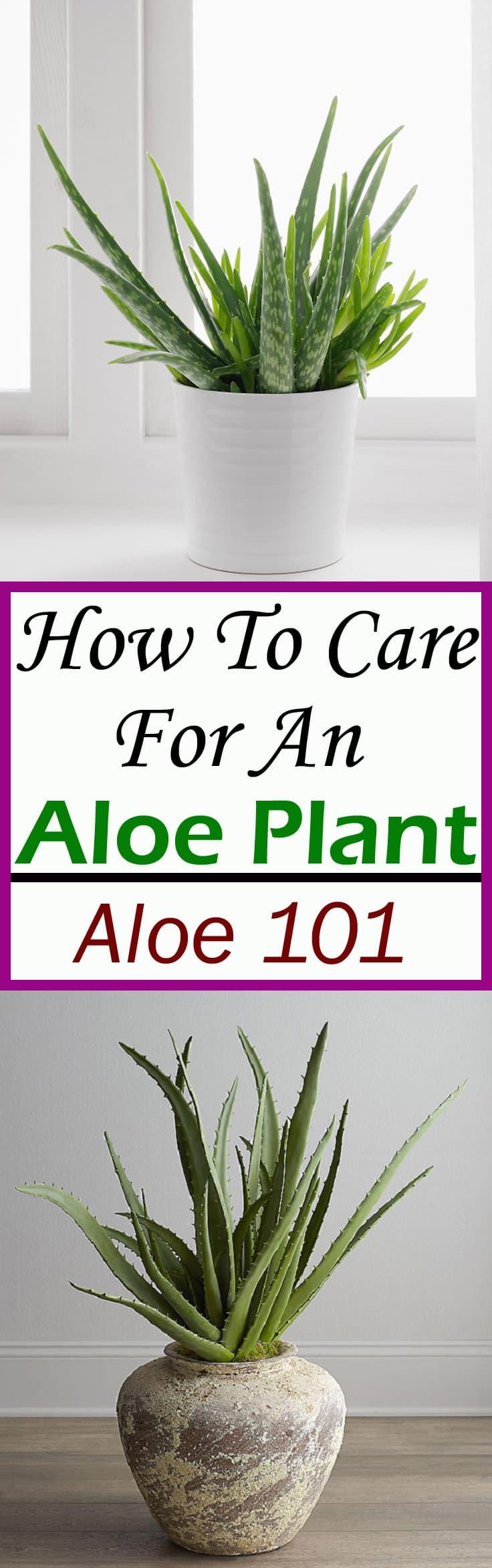How To Care For An Aloe Plant Aloe Plant Care Balcony