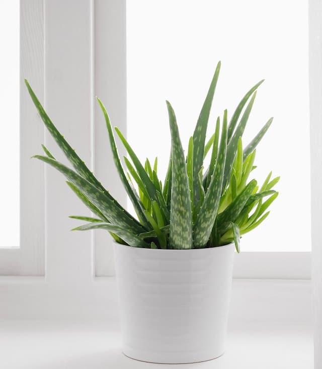 how to care for an aloe plant  aloe plant care  balcony garden web, Natural flower