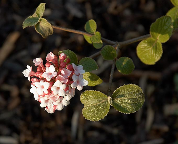 Most fragrant flowers according to gardeners balcony garden web viburnums are excellent fragrant flowers especially their korean spice variety that blooms in cluster of white fluffy flowers in spring and summer mightylinksfo