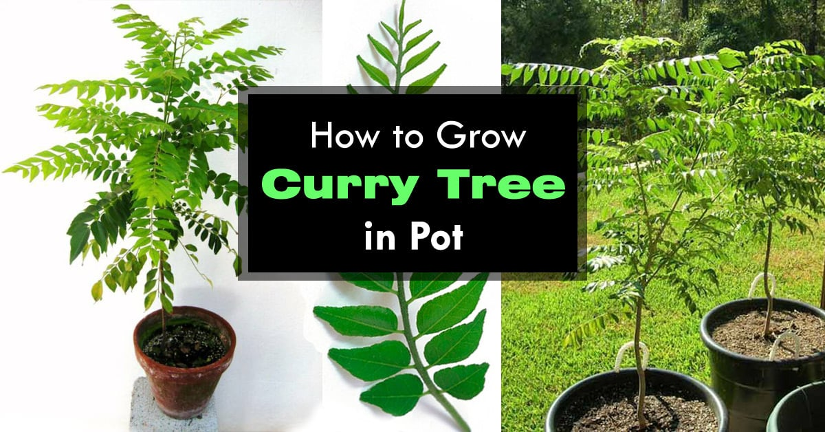 Growing Curry Leaves Plant How To Grow Curry Tree