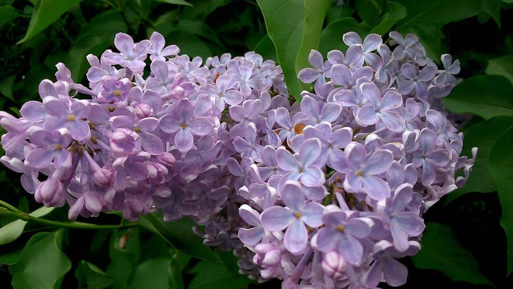 Most fragrant flowers according to gardeners balcony garden web blooms in spring and summer in europe america lilacs are good cut flowers with their arousing perfume that churns the memories they are in our list mightylinksfo