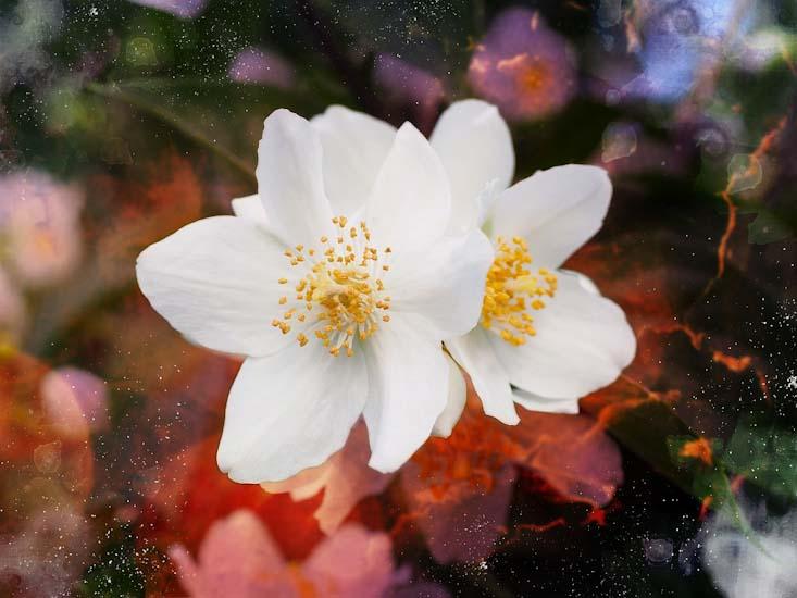 Most fragrant flowers according to gardeners balcony garden web philadelphus coronarius mock orange mightylinksfo