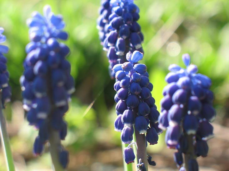 Most fragrant flowers according to gardeners balcony garden web cluster of flowers in colors of red white blue and more hyacinths are appeasing for eyes and their fragrance resembles a combination of strawberry and mightylinksfo