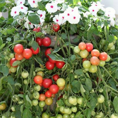 Growing Tomatoes In Hanging Basket Vertical Gardening