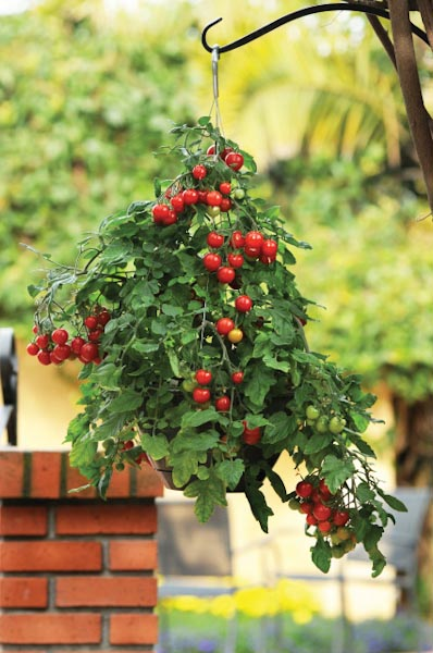 Exceptional How To Grow Cherry Tomatoes In A Hanging Basket