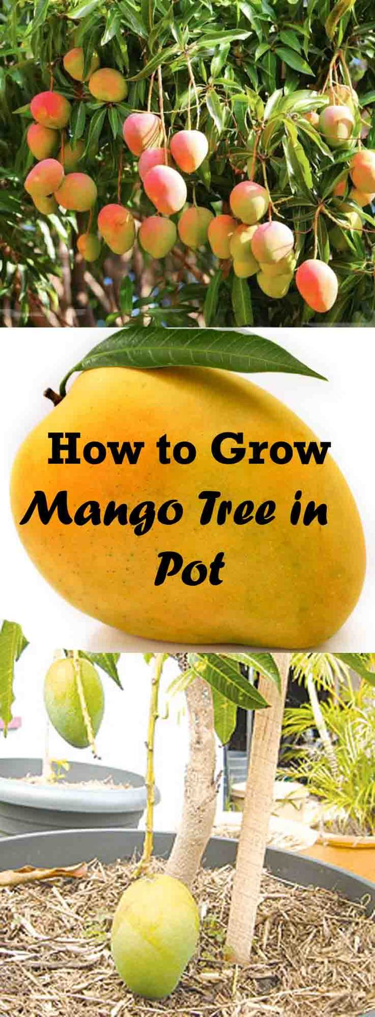 Learn How To Grow A Mango Tree In A Container In This Article Growing Mango