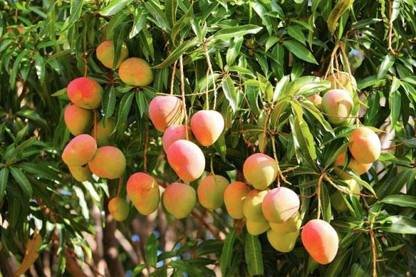 Finest How to Grow Mango Tree in Pot BO51