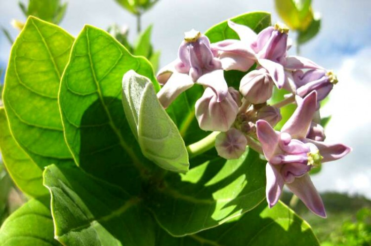 Milky Sap Plants You Must Know About Balcony Garden Web