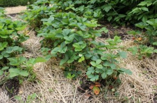 Planting Strawberry | Complete Growing Guide