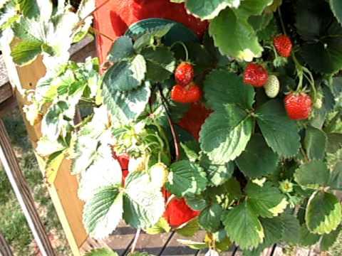 grow strawberry upside down - Growing Strawberries Upside Down