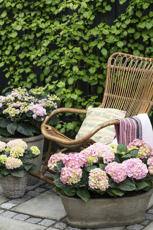 Hydrangeas Are Perfect To Grow On A Small Patio, Terrace Or Balcony Garden.  You Can Grow Them In Decorative Planters And Fancy Containers And Exhibit  Them ...
