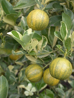 Its Exotic Citrus Like Fragrance And Mix Of Tangy, Sweet Flavor Of Lime And  Tangerine Of Its Fruit Makes It A Worth Fruit Tree.