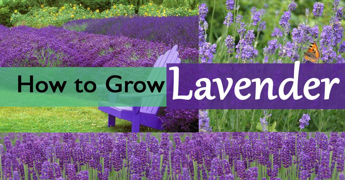 how to grow lavender plants. Black Bedroom Furniture Sets. Home Design Ideas