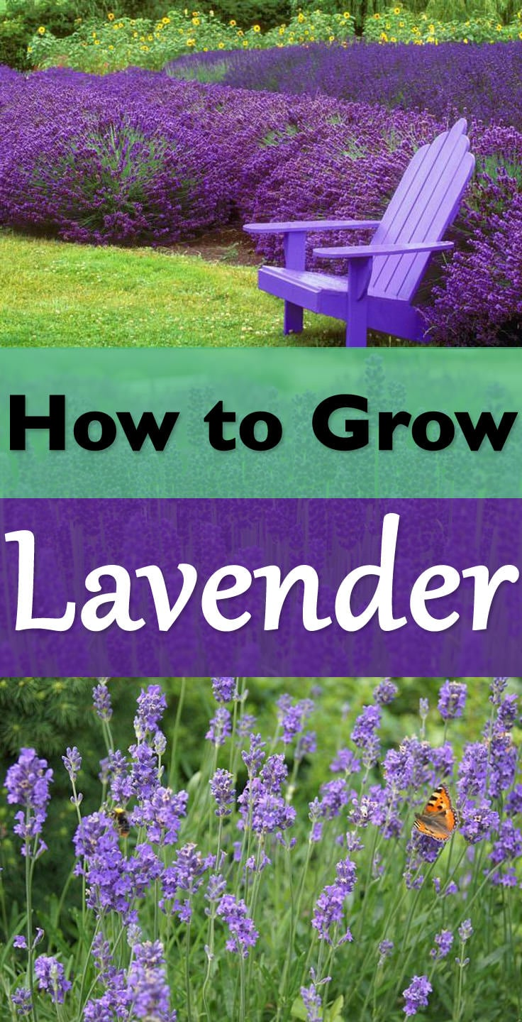 the robust smell and diverse shades of purple blue soft pink and white flowers - How To Grow Lavender Indoors
