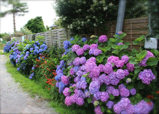 Good Grow Hydrangeas Closer To Your Gardenu0027s Fencing To Hide The Ugly And Boring  Appearance. You Can Also Grow Climbing Hydrangea, Although It Is A Slow  Grower ...