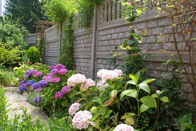 Grow Hydrangeas Near The Walls Or Boundaries Of Your Garden Come In Cool Colors And When Used Borders