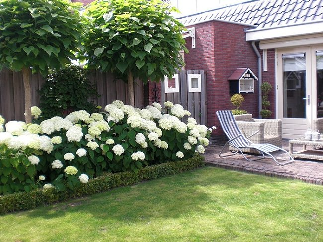 Beautiful White Hydrangeas Looking Serene And Complementing The Simplicity Of This  Front Garden. Hydrangeas Look Elegant And Attractive In Garden Borders And  Add ...