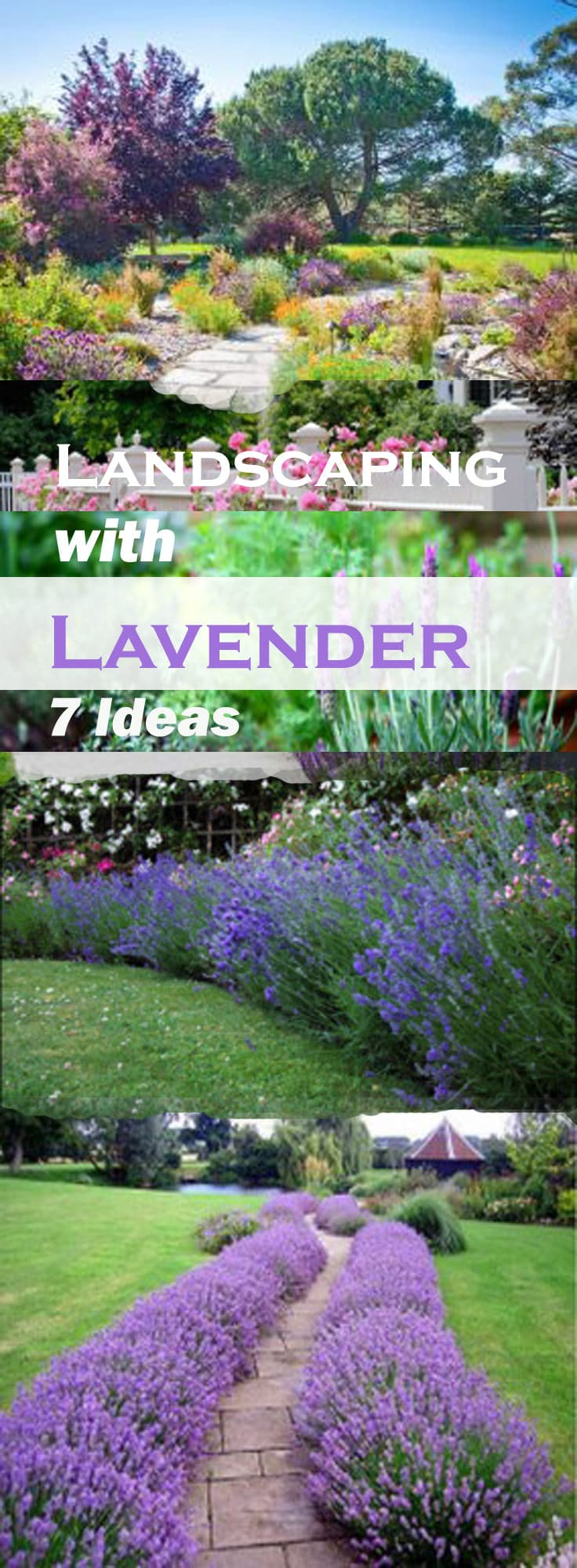 landscaping with lavender is easy and of low maintenance as this herb is available in so
