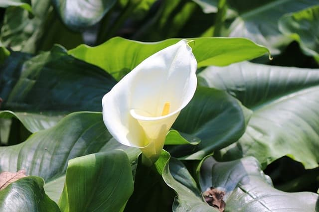 13 common flowers that are poisonous toxic flowers calla lily most poisonous flowers 10mini mightylinksfo