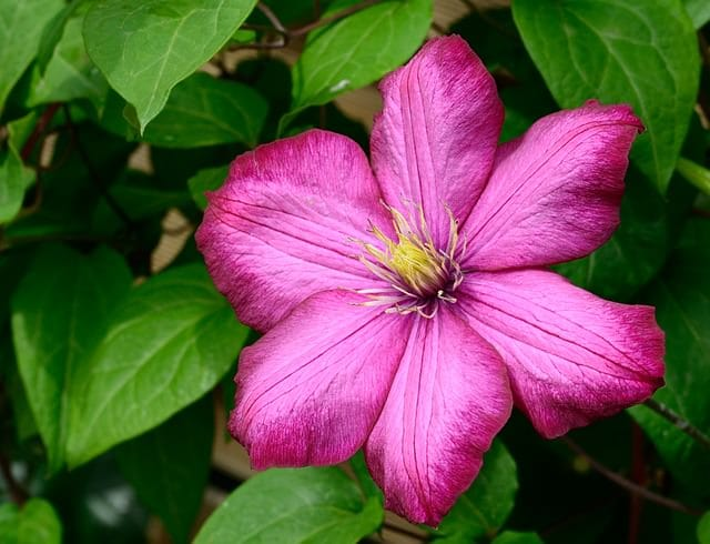 13 common flowers that are poisonous toxic flowers clematis most poisonous flowers 12mini mightylinksfo Images