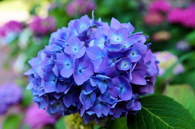 hydrangea most poisonous flowers 3_mini - Common Garden Flowers