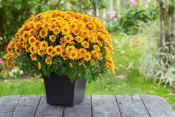 how to grow chrysanthemums in pots. Black Bedroom Furniture Sets. Home Design Ideas