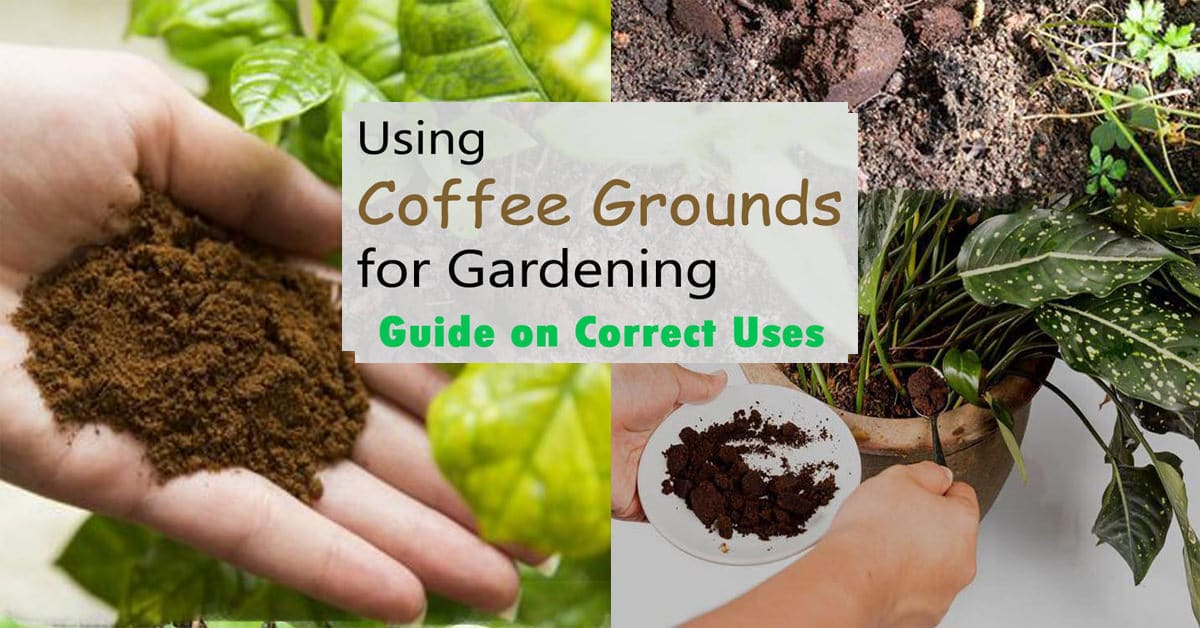 using coffee grounds in garden