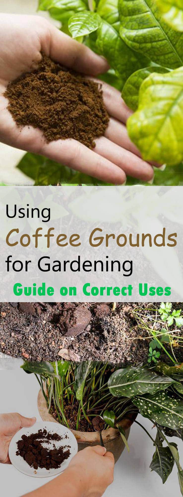 Using Coffee Grounds For Gardening Really Helps If Yes What Are The Correct Ways