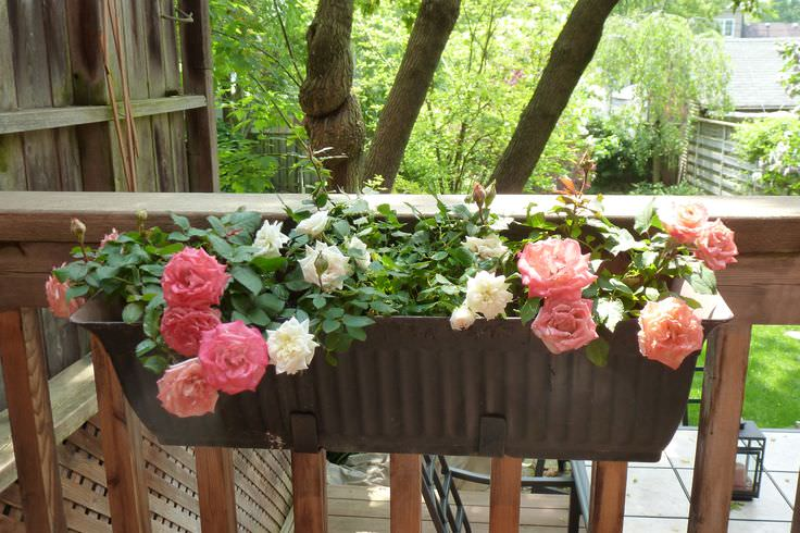 Amazing Type Of Roses To Consider Balcony Roses