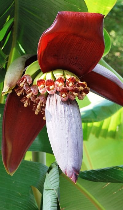 Banana Plant In Pot Care Container Mini