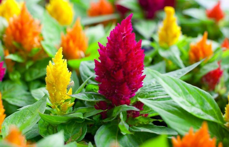 Celosia flower care cockscomb for Easy to care for outdoor flowering plants
