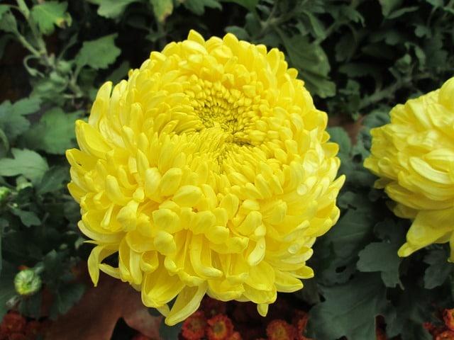 Potentilla paradoxa (Bushy Cinquefoil): Flores silvestres de Minnesota