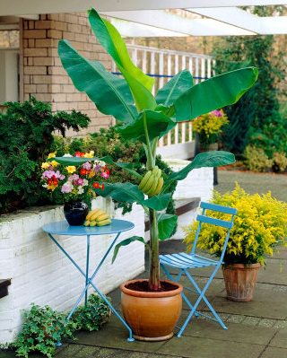 How to grow banana trees growing banana trees in pots for Banano de jardin