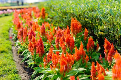 How To Grow Celosia Growing And Planting Guide