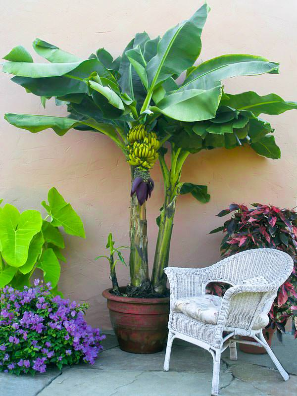 Growing Banana Trees In Pots Is Easy If You Re Unable To Grow It On The Ground Either Due Lack Of E Or Cold Climate Learn How