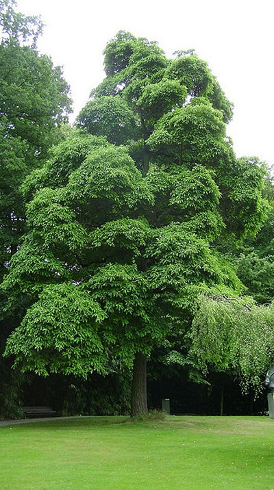 Growing Sassafras Tree Facts Uses And Growing Guide