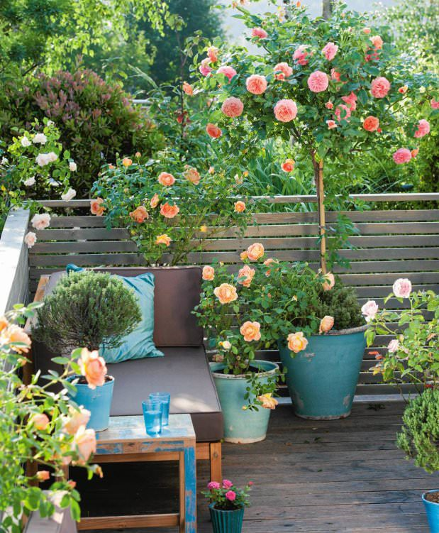 Balcony Garden Ideas Australia: Growing Roses In Containers (Balcony