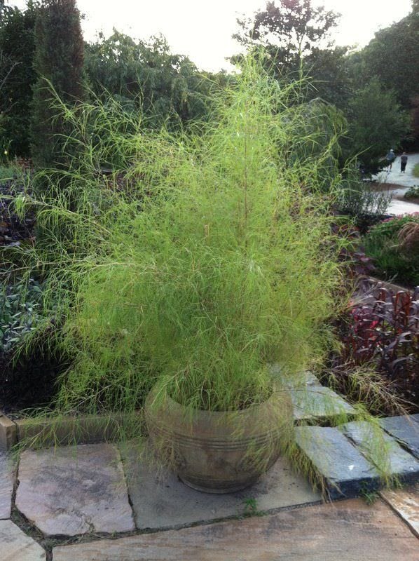 Best ornamental grasses for containers growing for Best grass for landscaping