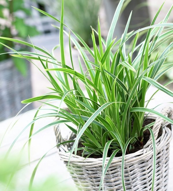 Low Growing Ornamental Grass Best ornamental grasses for containers growing ornamental grass carex morrowii ice dance workwithnaturefo
