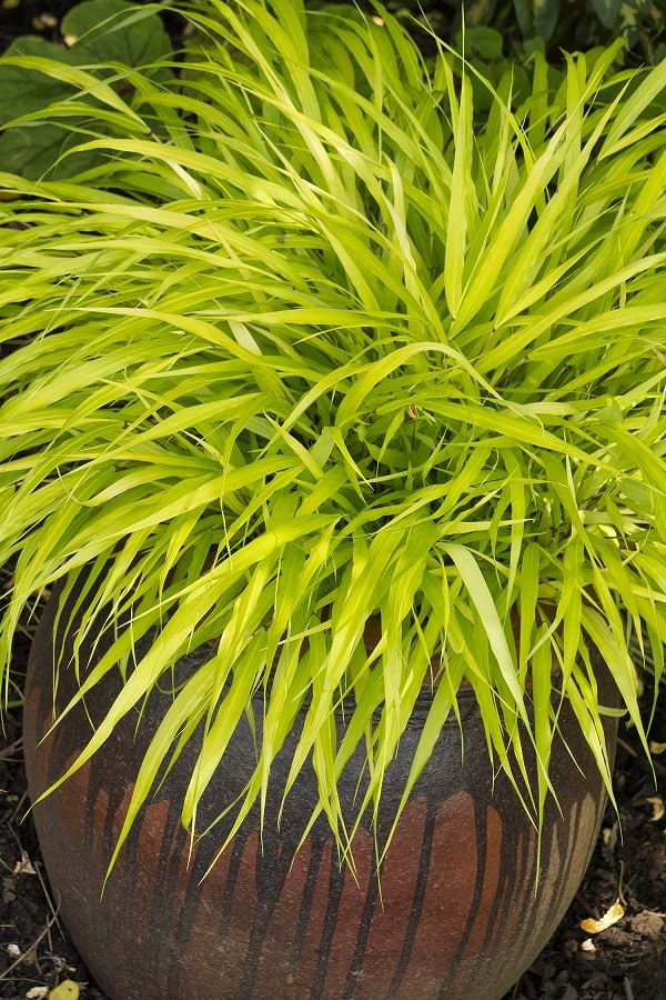 Best ornamental grasses for containers growing for Full sun perennial grasses