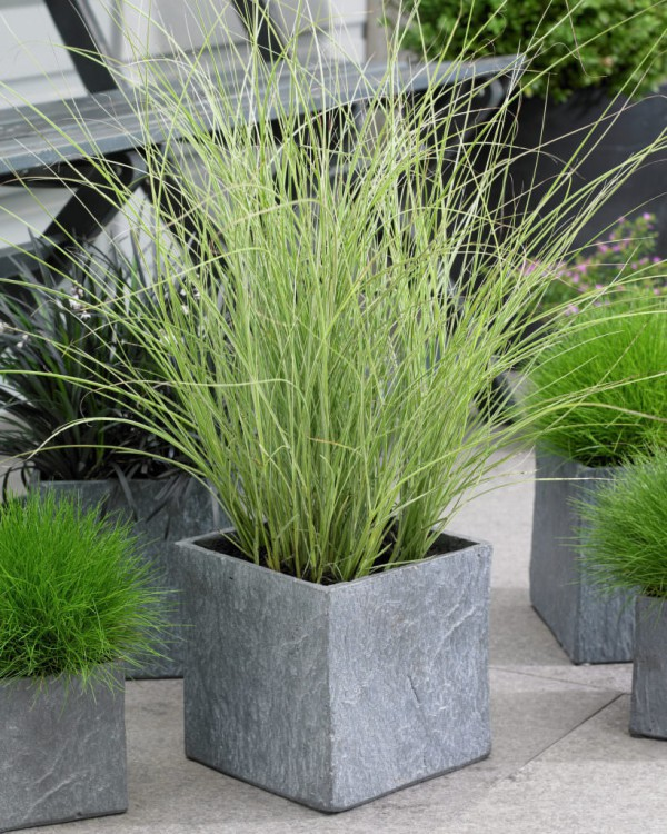 Best ornamental grasses for containers growing ornamental grass miscanthus miscanthus sinensis morning light workwithnaturefo