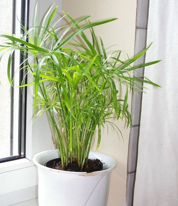 Umbrella Papyrus (Palm) Cyperus Alternifolius_mini