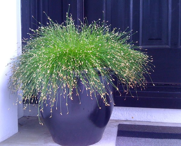 Best ornamental grasses for containers growing for Ornamental grasses that grow in shade
