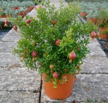 How to Grow Pomegranate Tree in Pot Growing Pomegranates in