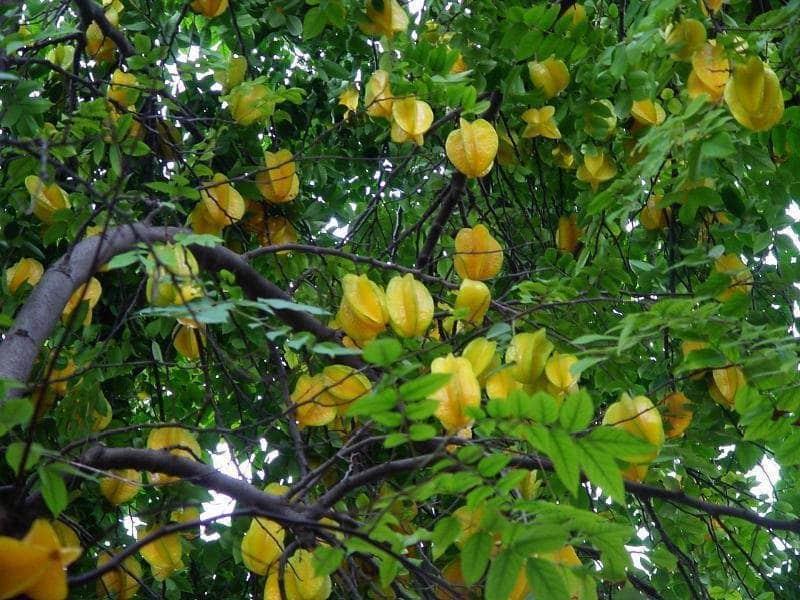 How To Grow Star Fruit Growing Starfruit Carambola
