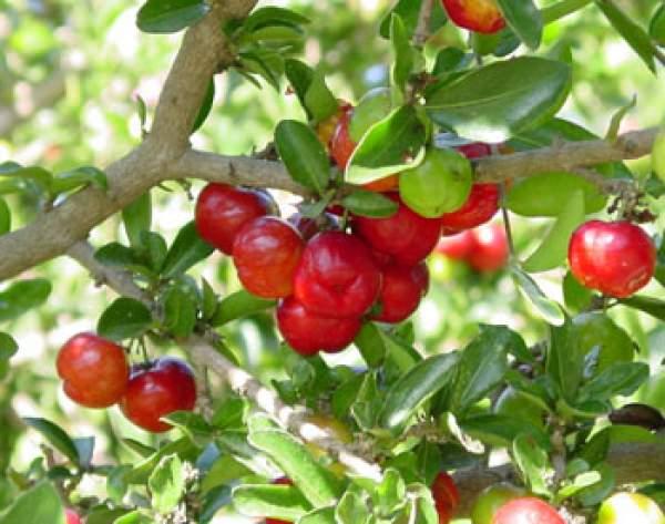 Barbados Cherry Tree
