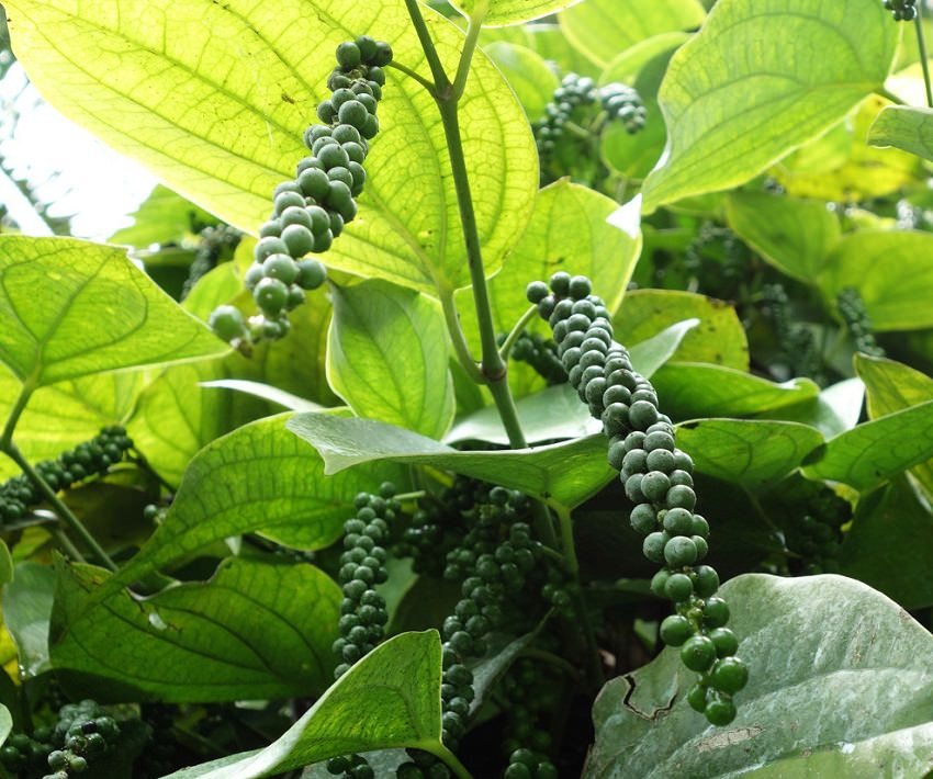 How to grow black pepper plant growing peppercorn - Planting pepper garden ...
