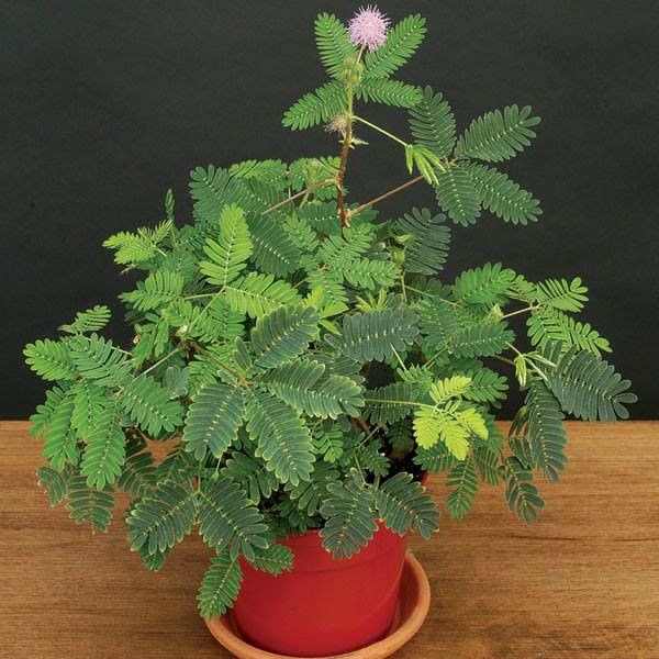 How To Grow Mimosa Pudica (2)_mini