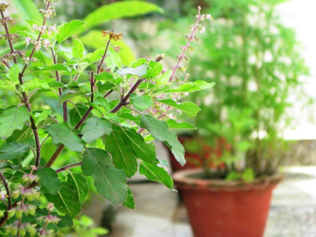 Winter Lawn Care How To Grow Tulsi Plant Care And Growing Holy Basil
