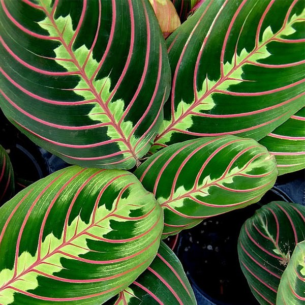 best office plant no sunlight. maranta leuconeura prayer plant best office no sunlight t